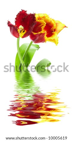 two tulips with reflection in water - stock photo