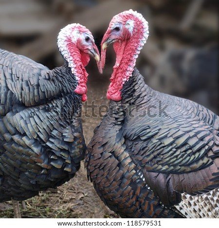 two turkeys - stock photo