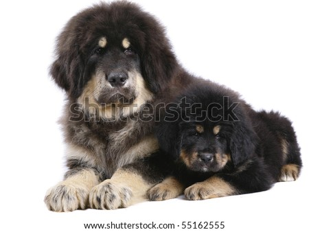 Two underlying Tibetan Mastiff puppy on a white background. - stock photo