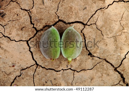 Two unripe almonds on the dry terra for different uses - stock photo