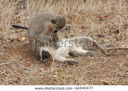 Two vervet monkeys, cercopithecus aethiops, grooming each other - stock photo