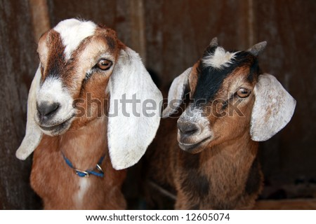Two very cute young goats peeking out of their shelter. - stock photo