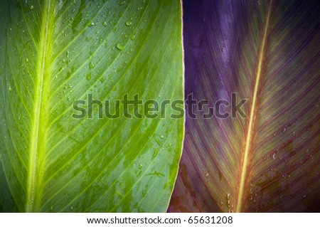 Two very differently colored leaves overlap with water droplets on top - stock photo