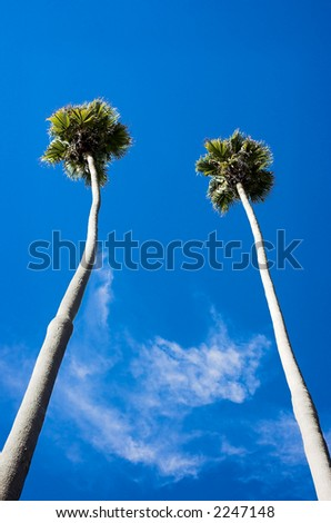 Two very tall palm trees against a blue sky - stock photo