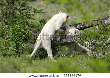 Two very young baby white lion cubs playing - stock photo