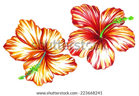 two vintage hibiscus flowers. watercolor drawing - stock photo