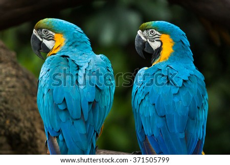 two vivid and colorful ara parrot birds sitting together as friends and looking same direction - stock photo