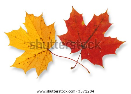 two vivid maple leaves against white background, small shadow behind leaves