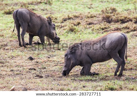 Two warthogs walking on knees with elbows bent to reach grass in Masai Mara National Reserve  - stock photo