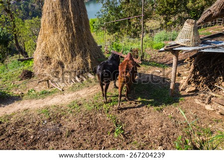 Two water buffalo in the agricultural sector in Nepal - stock photo