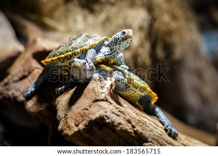 Two Water Turtles out of Water, Aquarium, Malaclemys terrapin - stock photo