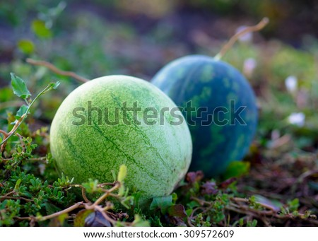 Two watermelon on the ground in the vegetable garden. Agricultural landscape - rural scene with ripe watermelons on a field. - stock photo