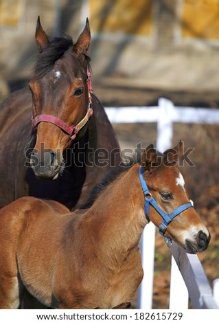 Two weeks old foal with mare at the corral - stock photo