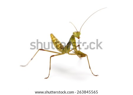 two weeks old wood mantis on white background - stock photo