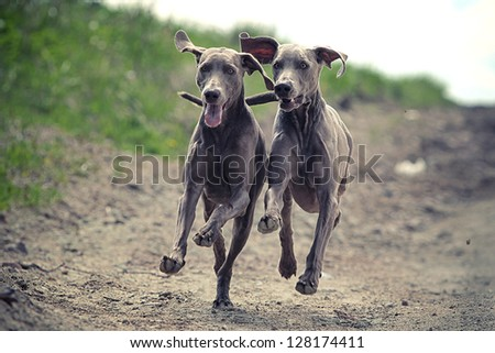 Two Weimaraner dog run together in road - stock photo
