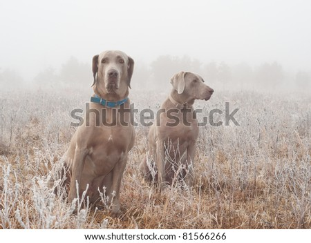 Two Weimaraner dogs in heavy fog on a cold, frosty winter morning - stock photo