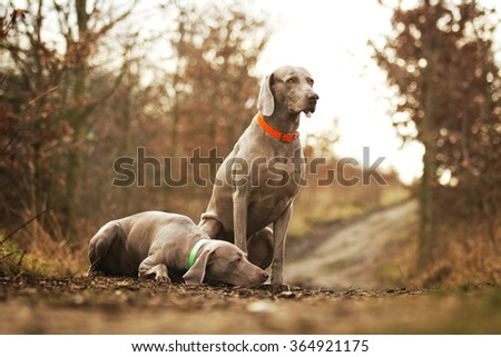 two weimaraner dogs waiting sad lonely dirt road in a forest in winter nature, sadness, loneliness, cold,autumn, - stock photo