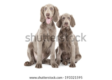 Two Weimaraner puppies, 3 months old, sitting , isolated on white  - stock photo