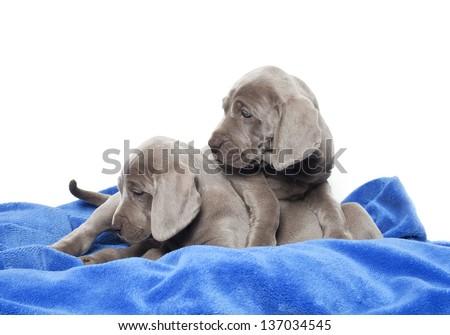 two weimaraner puppies on blue soft blanket, weimaraner puppies - stock photo