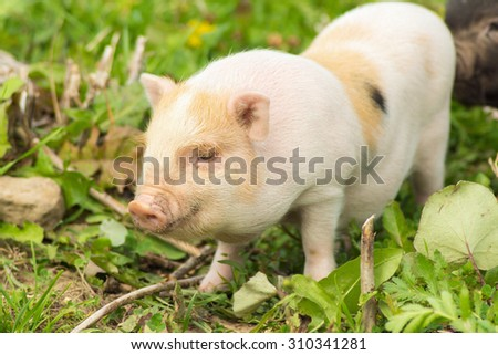 Two well-fed pig walk on the grass in the summer