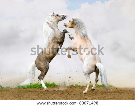 Two Welsh pony stallions battle on the sky background - stock photo