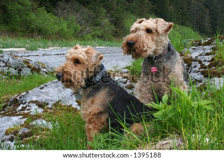 two welsh terrier dogs - stock photo