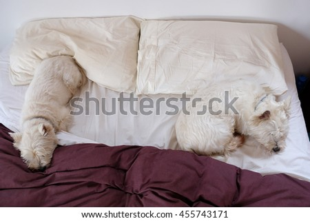 Two west highland white terrier westie dogs sleeping on a messy crumpled bed. The comforter is covered in fur.