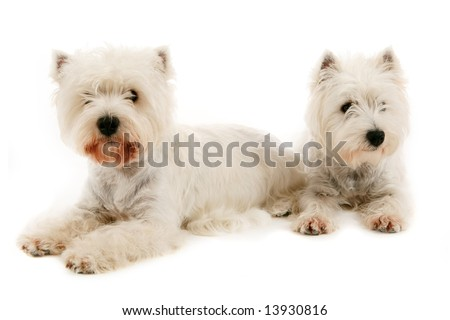 Two West Highland White Terriers, studio shot on white background. - stock photo