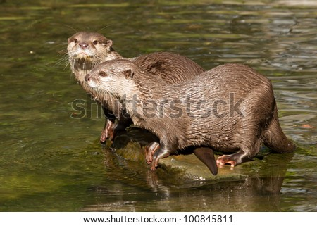 Two wet otters are standing on a stone - stock photo