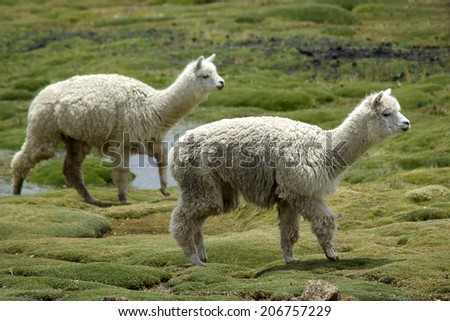 Two white alpacas on a green field, Peru - stock photo