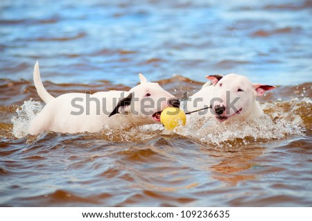 two white bull terrier dogs playing in the sea - stock photo