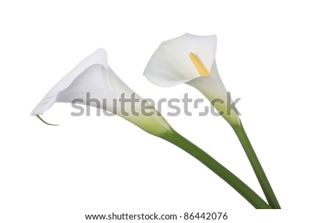 Two white Calla lilies - stock photo