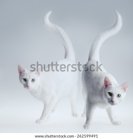 Two white cats posing on the gradient background - stock photo