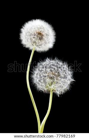 Two white dandelion over black background - stock photo