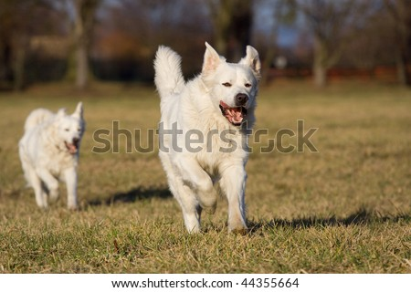 Two white dogs running through meadow - stock photo