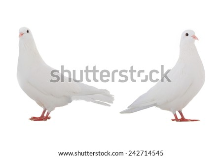 two white  dove isolated on a white background - stock photo