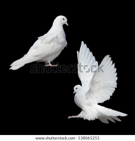 two white doves on a black background - stock photo