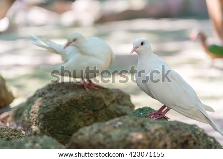 Two white doves on the rocks. - stock photo