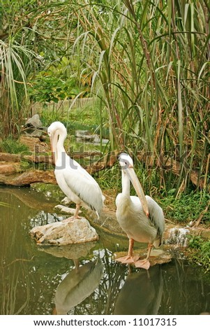 Two white duck