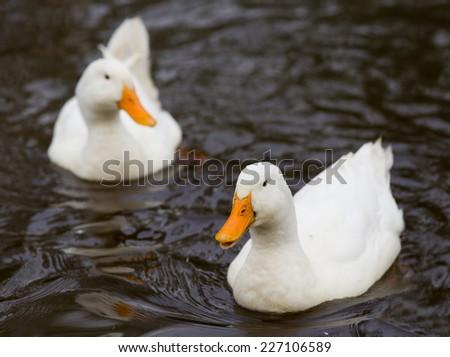 Two white ducks swimming in the lake - stock photo
