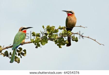 Two white fronted bee-eaters on a branch with blue sky - stock photo