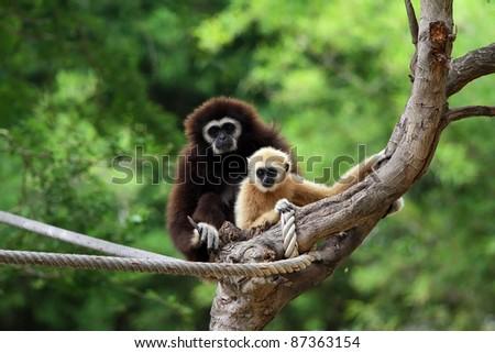 Two white handed Gibbon or Lar Gibbon - stock photo
