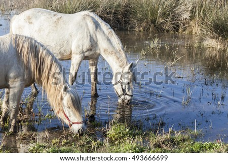Two white horses drinking water in a marsh.