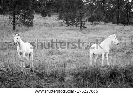 Two white horses stand in the field facing opposite directions - stock photo