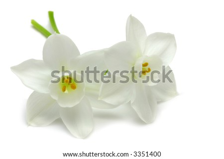 Two white Jonquils isolated on white background