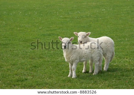 Two white lambs standing together in a field in spring. - stock photo