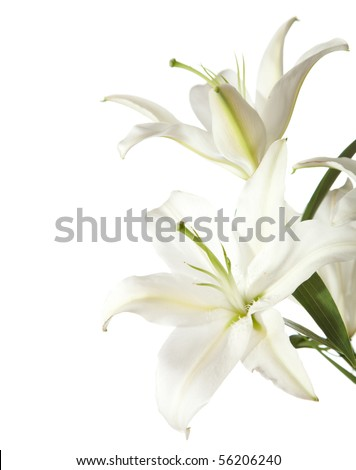 two white lily isolated on white background - stock photo