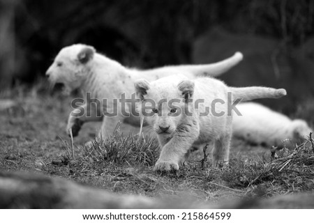 Two white lion cubs on the move with their tails up. - stock photo