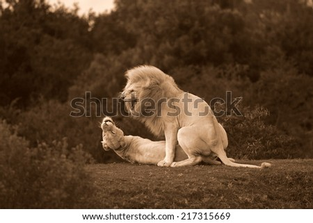 Two white lions mating in this sepia tone image. - stock photo