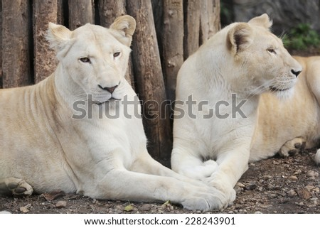 Two White Lions Showing the Love between himself